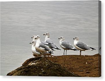 Canvas Print featuring the photograph Sea Gulls On Rock Ledge by Sheila Brown