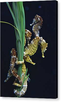 Canvas Print featuring the photograph Sea Horse by Joan Reese