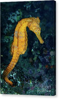 Sea Horse Underwater View Canvas Print by Sami Sarkis