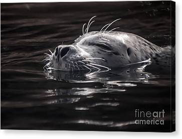 Sea Lion Basking In The Light Canvas Print