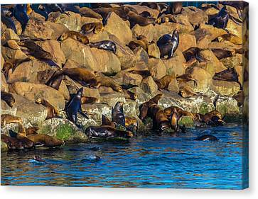 Sea Lion Coloney Canvas Print by Garry Gay