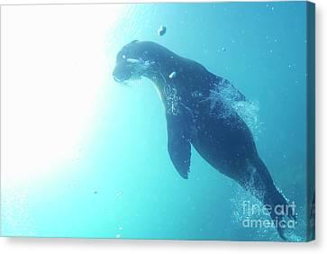 Sea Lion Swimming Underwater  Canvas Print by Sami Sarkis
