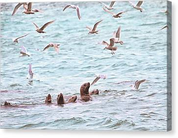 Hornby Island Canvas Print - Sea Lions And Gulls - Herring Spawn by Peggy Collins