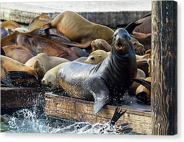Canvas Print - Sea Lions On The Floating Dock In San Francisco by David Gn