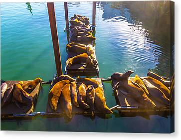 Sea Lions Sunning On Dock Canvas Print by Garry Gay