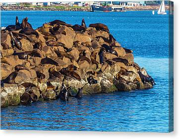 Sea Lions Sunning On Rocks Canvas Print by Garry Gay