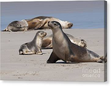 Canvas Print featuring the photograph Sea Lions by Werner Padarin