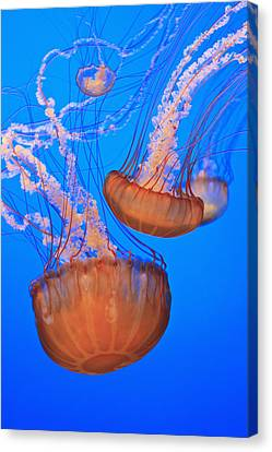 Sea Nettles Chrysaora Fuscescens In Canvas Print by Stuart Westmorland