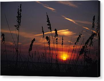 Sea Oats Blow In The Breeze As The Sun Canvas Print by Stacy Gold