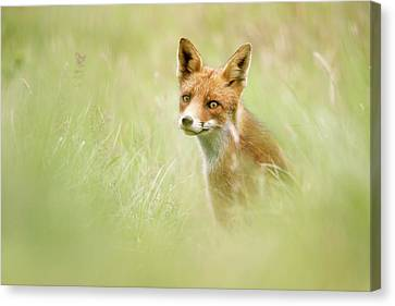 Sea Of Green - Red Fox In The Grass Canvas Print by Roeselien Raimond