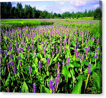 Sea Of Pickerelweed Canvas Print