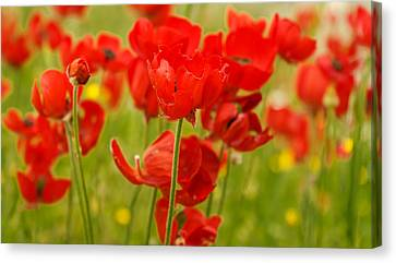 Sea Of Red Buttercups Canvas Print by Uri Baruch