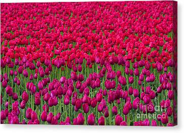 Sea Of Tulips Canvas Print by Mike  Dawson