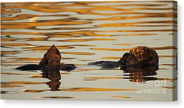 Sea Otter Laying Low In The Water Canvas Print by Max Allen