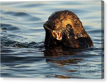 Sea Otter With A Toothache Canvas Print by Max Allen