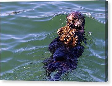 Sea Otter With Lunch Canvas Print