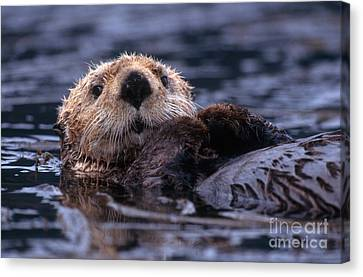 Otter Canvas Print - Sea Otter by Yva Momatiuk and John Eastcott and Photo Researchers