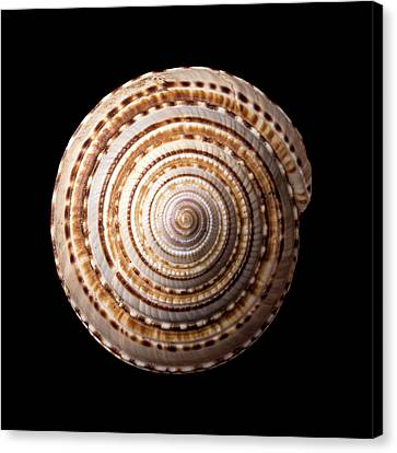 Sea Shell Known As Staircase Or Sundial Canvas Print by Jim Hughes
