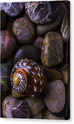 Sea Snail Shell On Rocks Canvas Print by Garry Gay
