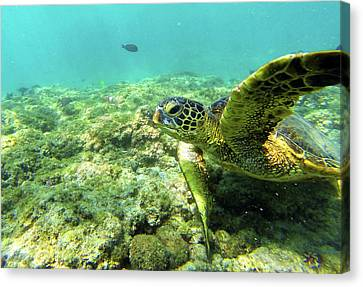 Canvas Print featuring the photograph Sea Turtle #2 by Anthony Jones