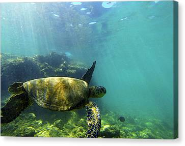Canvas Print featuring the photograph Sea Turtle #5 by Anthony Jones