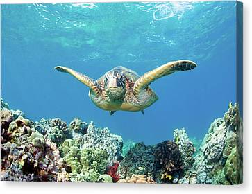 Sea Turtle Maui Canvas Print