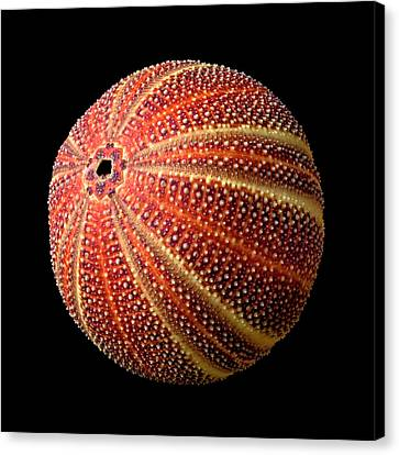 Spiny Canvas Print - Sea Urchin 2 by Jim Hughes