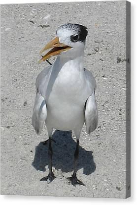 Seagull 2 Canvas Print by Brenda Berdnik