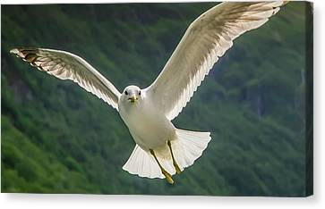 Seagull At The Fjord Canvas Print by KG Thienemann