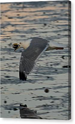 Seagull Cracking Open A Clam Canvas Print by Gene Sizemore