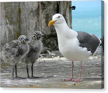 Seagull Family Canvas Print