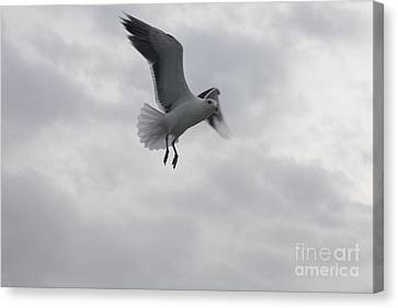 Seagull Hovering Overhead Canvas Print by John Telfer