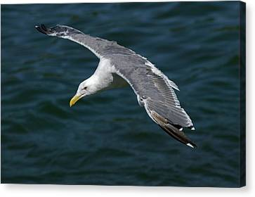 Seagull  In Flight Canvas Print by Randall Ingalls