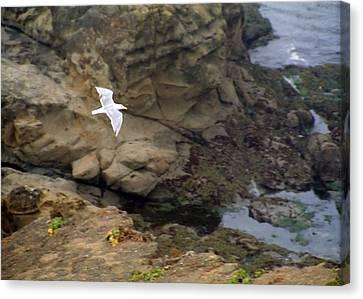 Seagull In Flight Canvas Print by Steve Ohlsen