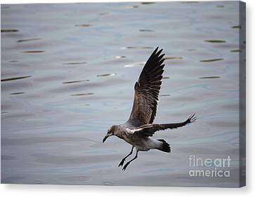 Seagull Landing Canvas Print by Carol Groenen