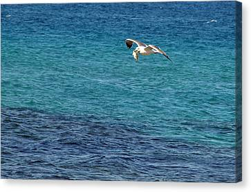 Seagull  Meal  Time Canvas Print by Arik Baltinester