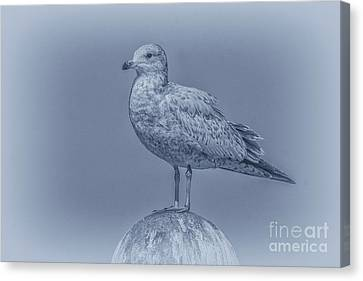 Seagull On Post In Blue Canvas Print by Randy Steele