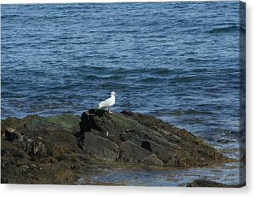 Canvas Print featuring the digital art Seagull On The Rocks by Barbara S Nickerson