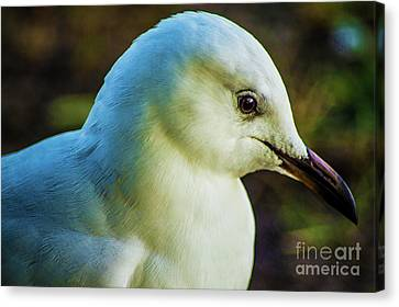 Seagull Portrait 1  Canvas Print