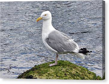 Canvas Print featuring the photograph Seagull Posing by Glenn Gordon