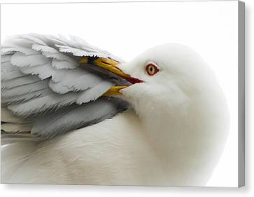Seagull Pruning His Feathers Canvas Print by Keith Allen