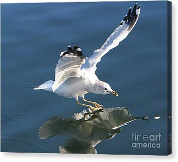 Seagull Reflection Canvas Print by Rod Jellison