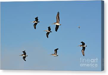 Canvas Print featuring the photograph Seagull Soaring With Pelicans by Susan Wiedmann