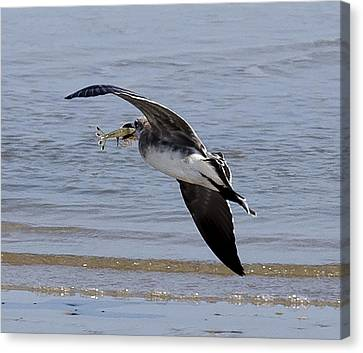 Seagull With Shrimp Canvas Print