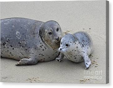 Seal Baby  Canvas Print by Judy Grant