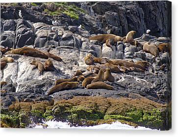 Seal Colony - Montague Island - Australia Canvas Print