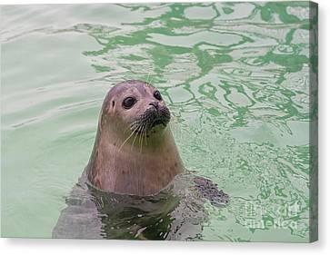 Seal In Water Canvas Print by Patricia Hofmeester