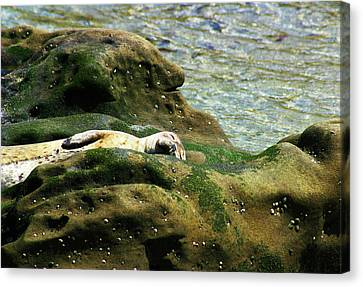 Canvas Print featuring the photograph Seal On The Rocks by Anthony Jones