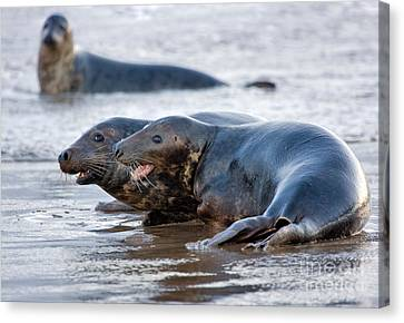 Seals Canvas Print by Louise Heusinkveld