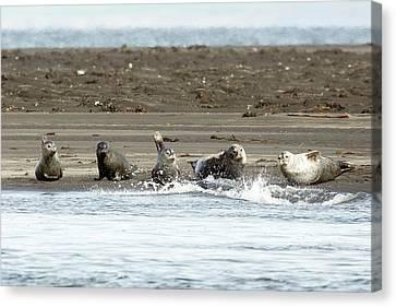 Seals Of Hvitserkur Canvas Print by Betsy Knapp